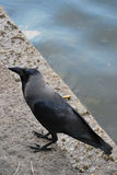 Close Up of a Raven on a Stone Step. Close up of a Raven standing on stone steps by the waters Royalty Free Stock Photography