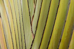 Close up - Ravenala madagascariensis Palm Stock Photo