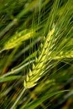 Brew Barley Stock Photos