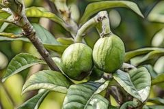 Raw green loquat fruits on tree branches. loquat has a number of health benefits, including the ability to prevent diabet royalty free stock photo
