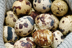 Close-up of raw quail spotted eggs Stock Images