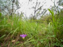 Close up rear shot of purple flower amongst tall grasses in woods stock photo