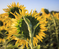Close up rear view of yellow sunflowers in agriculture field Royalty Free Stock Images