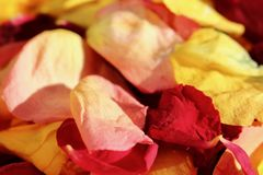 Close up of dead yellow and red rose petals in bright autumn sunshine. Close up of recently dead yellow and red rose petals with a highlight of a red petal and a stock photo