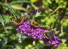 Butterflies on a flowering plant royalty free stock photos