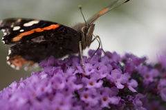 Close up of Red Admiral butterfly feeding on a Buddleia plant Stock Image