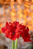 Close up of a red amaryllis. Amarilis flowers in Glass vase. Garland bokeh on background. Vertical Wallpaper royalty free stock photography
