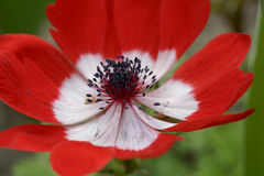 Close up of red anemone Royalty Free Stock Photography