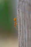 Close up of red ant in nature Royalty Free Stock Images
