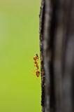 Close up of red ant in nature Royalty Free Stock Image