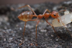 Close up of red ant in nature. Thailand Stock Photo