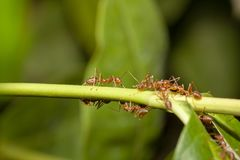 Close up red ant on  stick tree in nature at thailand. Leaf, green, macro, background, ants, closeup, animal, wildlife, insect, bug, walking, white, detail royalty free stock images