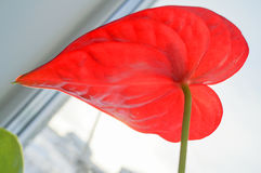 Close up of red anthurium flower stock image