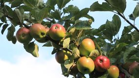 Red apples on tree, closeup, texture. Close up red apples on tree in summer stock footage