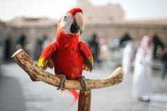 Close-up red Ara parrot sitting on wooden perch. royalty free stock image