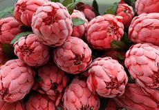 Close Up of Red Artificial Protea Aristata Flowers Royalty Free Stock Photography