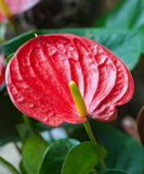 Close up of a red Arum. Royalty Free Stock Photography
