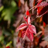 Close-up of red autumn leaves of Parthenocissus quinquefolia Virginia creeper, Victoria creeper, five-leaved ivy on a blurred ba. Ckground. Sunny autumn day royalty free stock photography