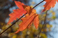 Close up of red autumn maple leaves. On the blurred yellow blue forest background royalty free stock images