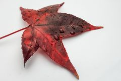 Close up of a red autumnal acer palmatum leaf on a white background. Acer palmatum, commonly known as palmate maple or Japanese maple, is a species of woody stock photo