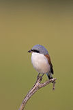 Close-up of Red-backed shrike Stock Image
