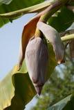 Close up of Red banana blossom Royalty Free Stock Image