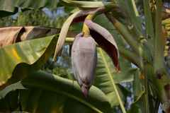 Close up of Red banana blossom Royalty Free Stock Photography