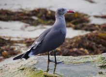 Close-up of red-beaked seagull calmly standing in tidal pool Royalty Free Stock Photos