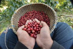 Close up of red berries coffee beans stock photo