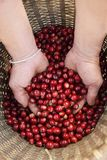 Close up of red berries coffee beans stock photos