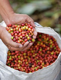 Close up red berries coffee beans. On agriculturist hand Stock Photos