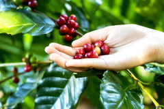Close up red berries coffee beans on agriculturist hand backgrou Royalty Free Stock Photos