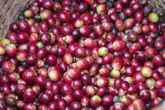 Close up red berries coffee beans. Ripe coffee cherries harvest in the basket Stock Photo