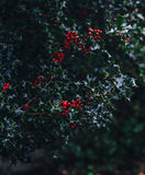 Close-up of Red Berries Growing on Tree Royalty Free Stock Image