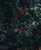 Close-up of Red Berries Growing on Tree Stock Image