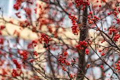 Close up red berries of Sorbus on tree branches. Close-up beautiful bunches of red Sorbus berries on branches outdoors stock image