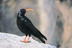 Red-billed Chough. The close-up of a Red-billed Chough stands on rock. Scientific name: Pyrrhocorax pyrrhocorax stock photo
