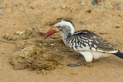 Close up Red billed hornbill on the ground Stock Photos