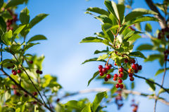 Close up of red bird cherry berry on the branch against blue sky background. selective focus macro shot with shallow DOF Royalty Free Stock Photo