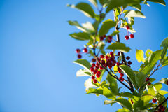 Close up of red bird cherry berry on the branch against blue sky background. selective focus macro shot with shallow DOF and copys. Pace Royalty Free Stock Image