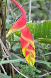 Red bird of paradise flower in garden. Close up red bird of paradise flower in garden Royalty Free Stock Images