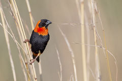 Close-up of Red bishop sitting on brown grass Stock Image