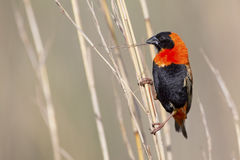 Close-up of Red bishop sitting on brown grass Stock Photo