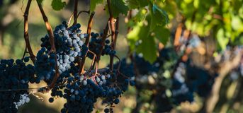 Close up on red black grapes in a vineyard, grape harvest concept stock images