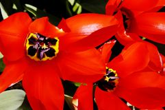 Close-up of red and black tulips Royalty Free Stock Photo