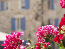Close up of red blooming flowers, St Jean de Cole, Dordogne, France Stock Image