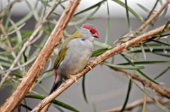 Red browed finch. This is a close up of a red browed finch Royalty Free Stock Photos