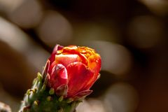 Close up from a red cactus blossom royalty free stock images