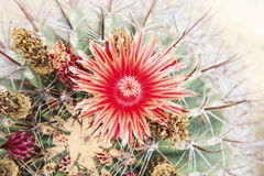 Close up of red cactus flowers petal Stock Images