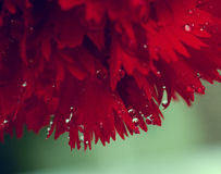 Close up red carnation. Close up some part red carnation with drop Stock Image